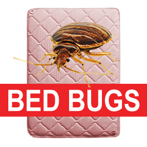 Infested bed bug mattress